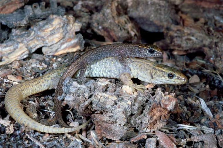 Image: Desert night lizards