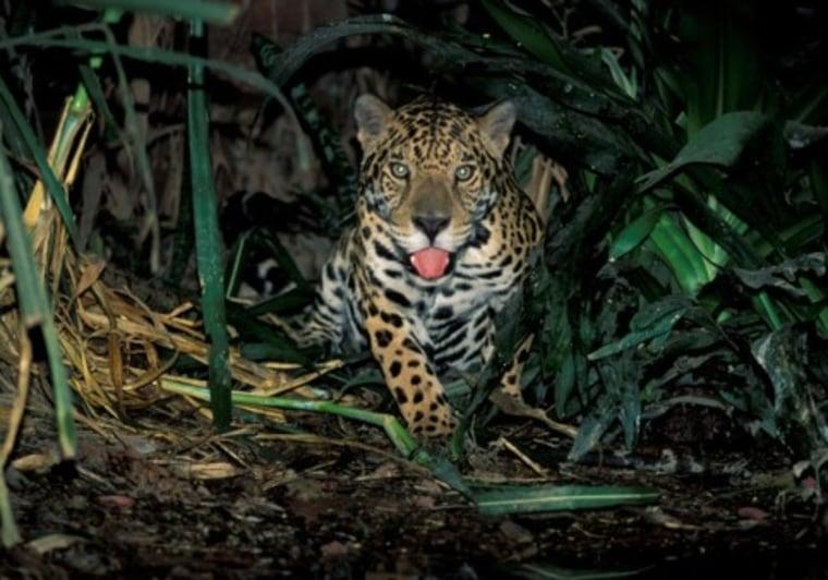 Image: jaguar