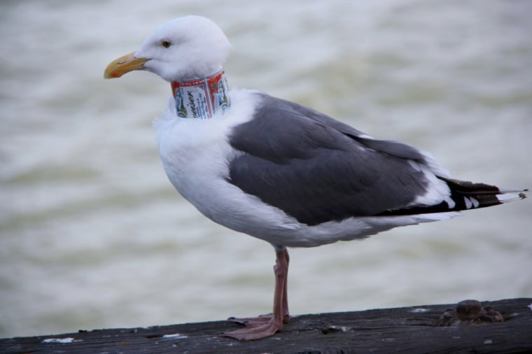 This is one of two seagulls spotted in the Bay Area with a beer can around its neck.