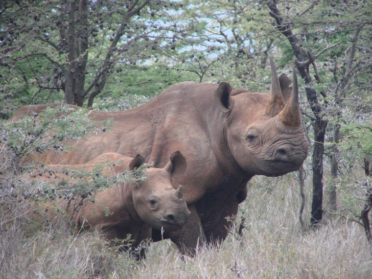 The female black rhino killed last Saturday is seen earlier with her calf, which was wounded.
