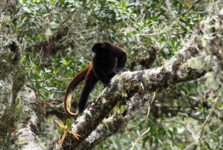Image: Yellow-tailed woolly monkey