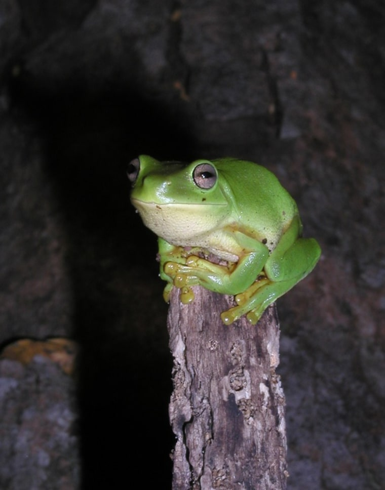 The Australian green tree frog (Litoria caerulea). It can apparently pee out surgical implants, shunting devices embedded in its their bladder, researchers find.