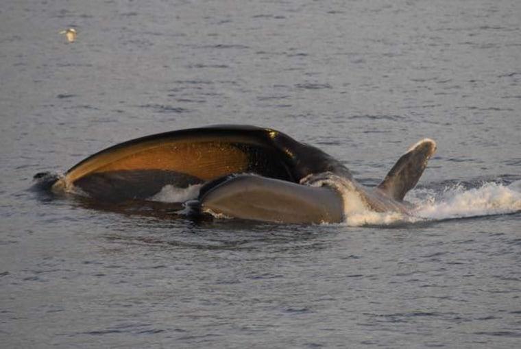 Image: Blue whale feeding