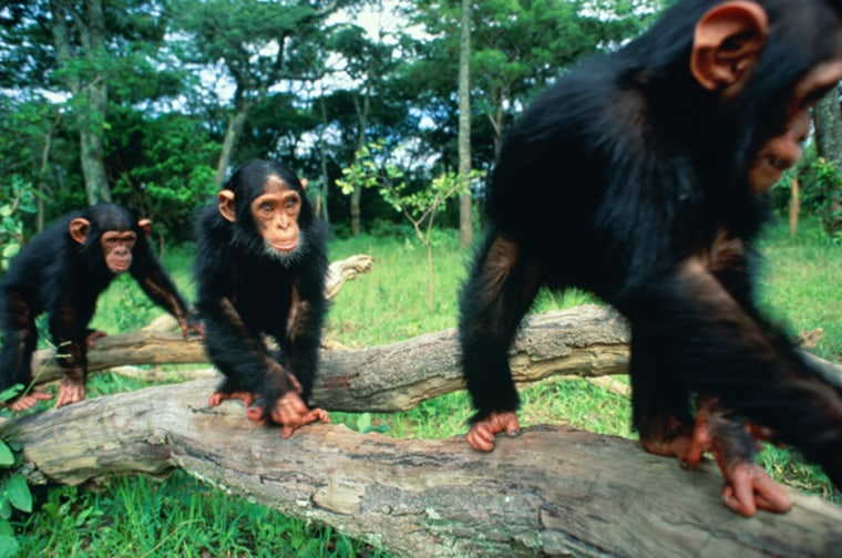 Chimpanzes are able to understand the benefits of cooperating and working together, according to a recent study by scientists at Georgia State University.