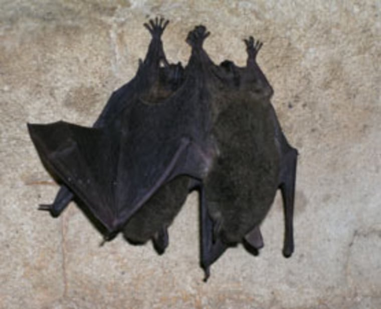 "Despite all of their ""daily chaos, the bats are able to maintain long-term relationships,"" says the lead author of a new study on bat relationships, Gerald Kerth."