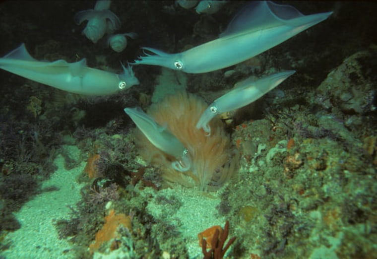 Coming in contact with a chemical given off by eggs of their own species will typically cause male longfin squid to instantly battle with other males, apparently in an attempt to get at females, even when females are not around.