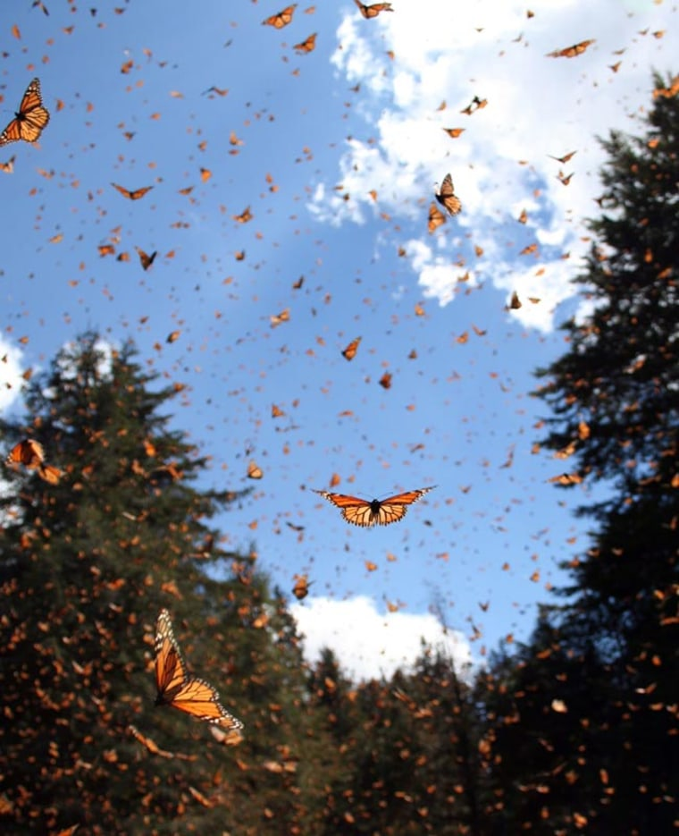 Monarch butterflies take flight near a wintering site in central Mexico. Monarchs undertake one of the longest distance two-way migrations of any insect species worldwide. They are commonly infected by a debilitating parasite that can hinder the flight ability of migrating butterflies.