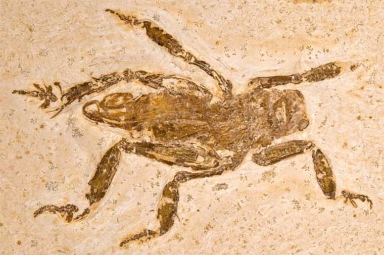 """A fossil found in northeasternconfirmed that the splay-footed cricket of today has at least a 100-million-year-old pedigree. """"They're quite voracious,"""" one entomologist says."""