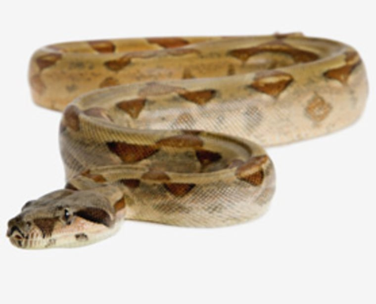 Research suggests that snakes, such as this red-tailed boa, lost their limbs by growing them more slowly or for a shorter period of time.