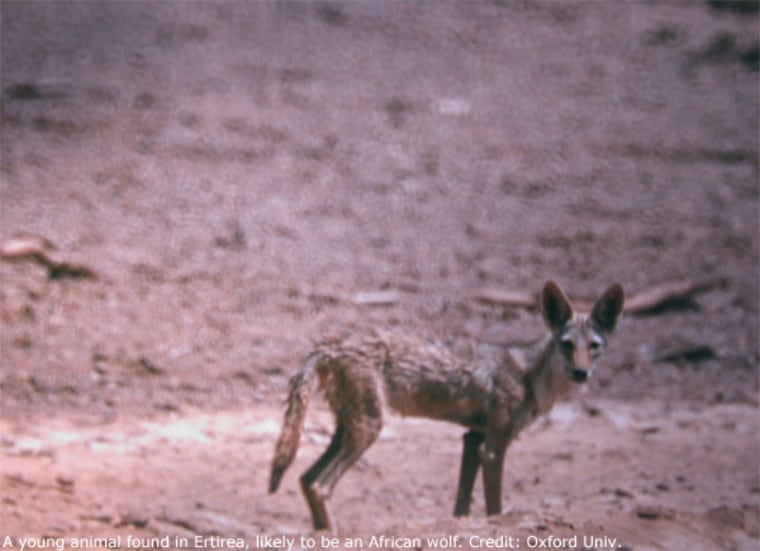 A young animal found in Eritrea, likely to be an African wolf.