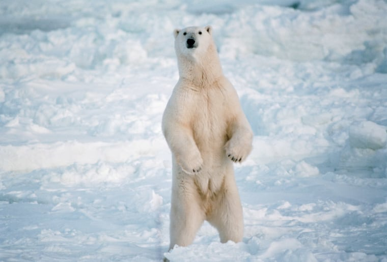 The largest individual bear from an existing species was a polar bear that weighed2,200 pounds.