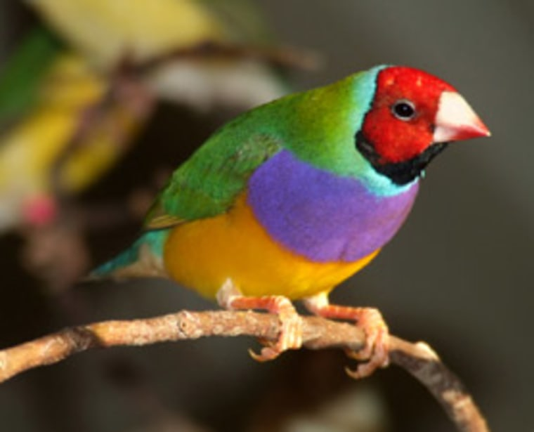 Red-headed Gouldian finches are more aggressive than black-headed males and are not as good at providing parental care. Both types of birds were used in this study of relationships.