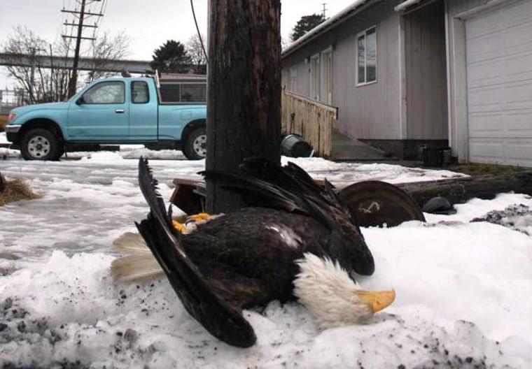 Image: Dead eagle