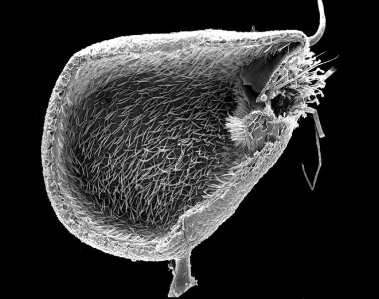 Image: aquatic carnivorous plant with suction traps