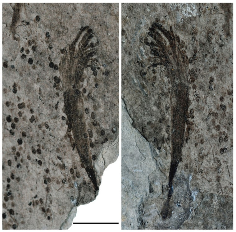One of the approximately 600-million-year-old fossils unearthed in China, this organism was probably seaweed. It has a root-like holdfast to secure it to the sea floor, a conical stem and a crown of ribbon-like structures.