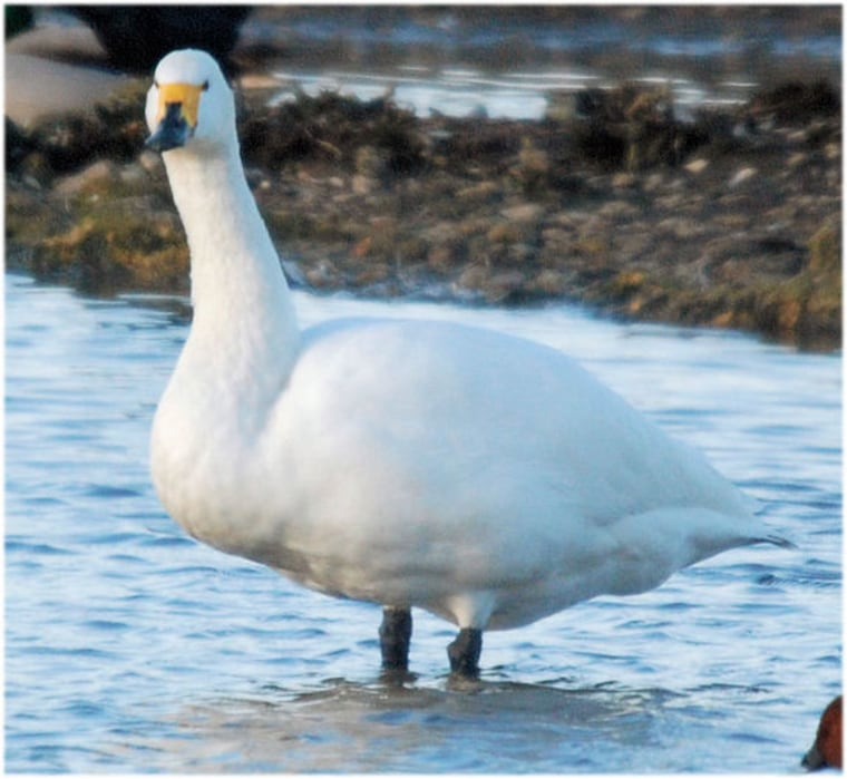 This plump swan above carries extra fat between its legs and its tail, an indication is is healthy. Theswan's rear end below lacks the bumpy fat deposits seen in well-fed birds.