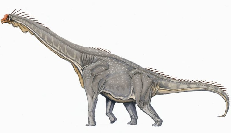 The Brachiosaurus weighed more than over 120,000 pounds. Itsbody measurement was comparable to the size of three school buses.