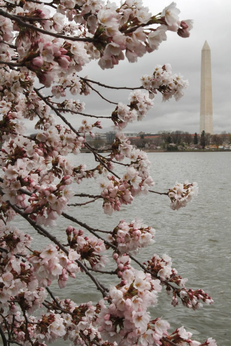 Image: Cherry blossoms in Washington