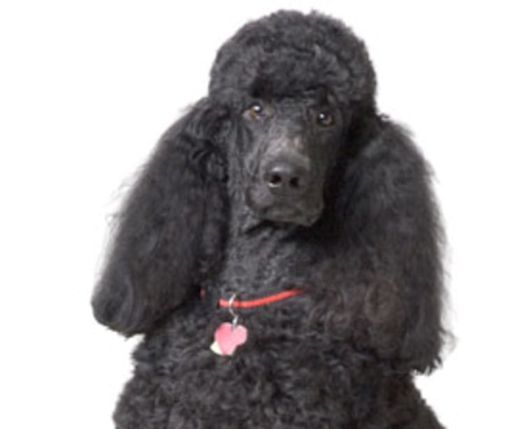 Dogs about the size of this poodle could have warmed cold cavemen laps in the shelters where they were found. They also were probably used as hunting partners.