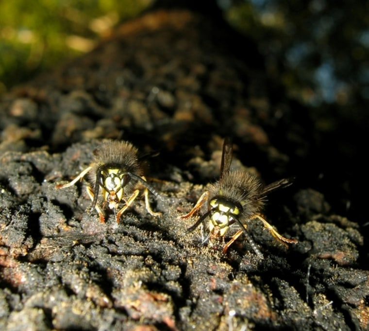 Yellowjacket wasps such as these have invaded the South Island of New Zealand, where they've developed an unusual method of dealing with competitor ants.