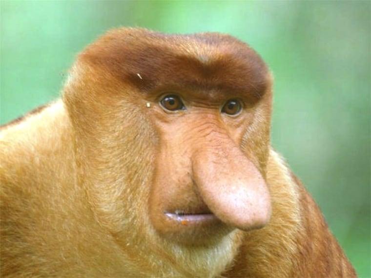 Image: Proboscis monkey