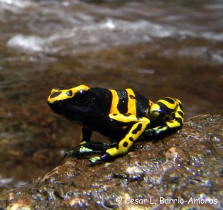 Dendrobates leucomelas, a poisonous frog from Venezuelan Guiana, has higher aerobic capacity than its nontoxic relatives. Researchers say the deadliest frogs are also the most vigorous.