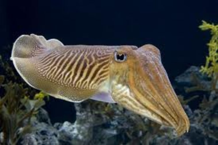 Cephalopods such as this cuttlefish can be injured by even short exposure to noise pollution.