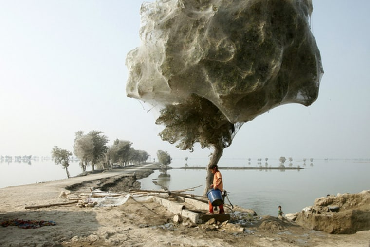 These trees are loaded with spiders and their webs after flooding in Sindh, Pakistan.