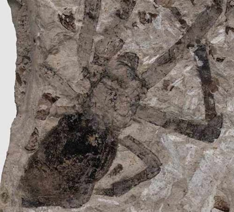 Fossil female golden orb-weaver spider (Nephila jurassica) from the Middle Jurassic of China.