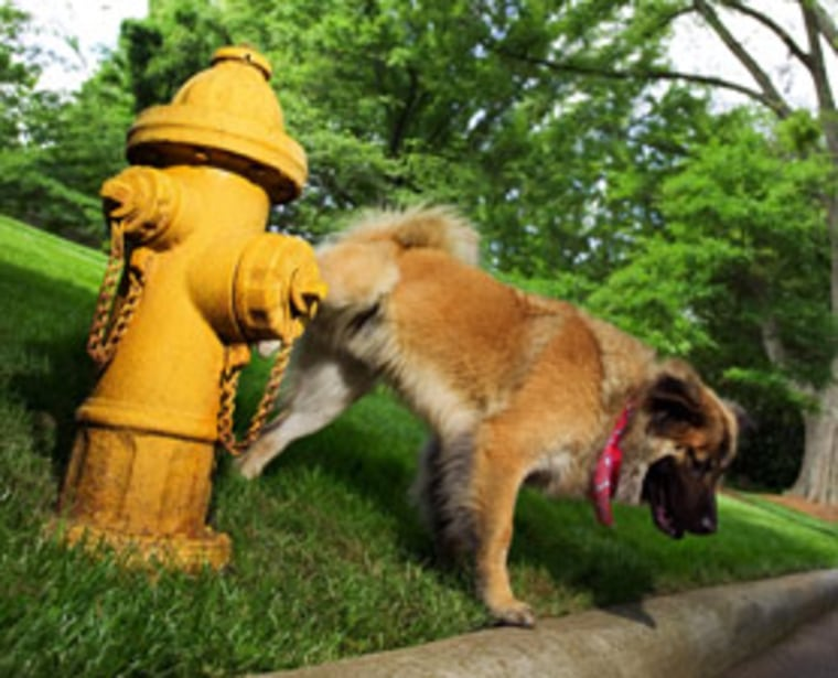 High-tailed/high-status dogs were far more active than other dogs at countermarking and investigating urine, according to a recent study.