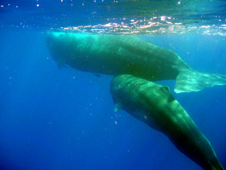 Mother and baby sperm whales swim together off the coast of Dominica.