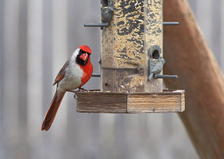 This is the unusual cardinal that appeared at Larry Ammann's backyard feeder.