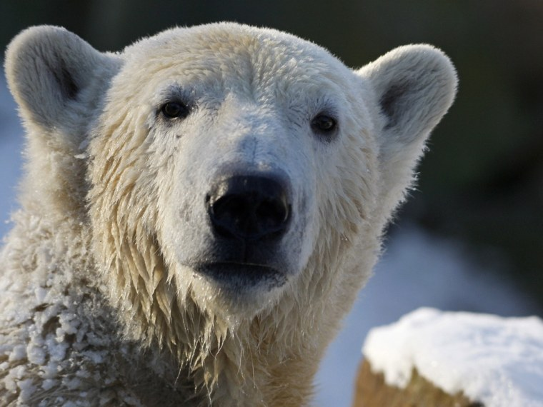 Image: File photo of polar bear Knut enjoying the cold weather in his enclosure at the Berlin Zoo