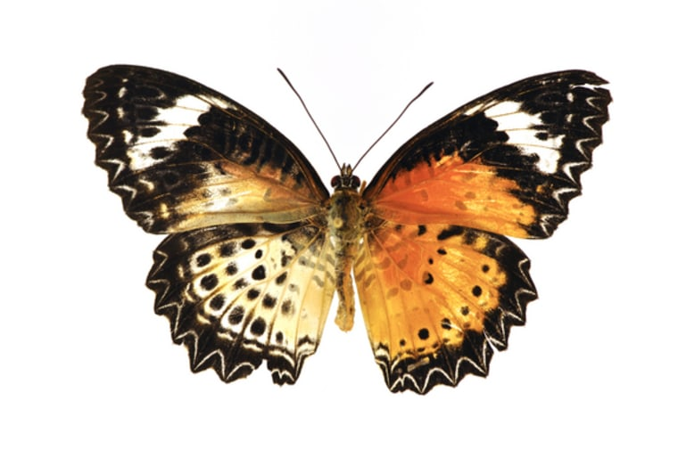 This leopard lacewing butterfly is half female, half male, as its colors clearly show.