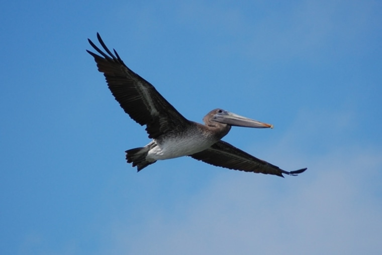 """A pelican soars in flight. Pelicans share the""""engulfment feeding"""" stategy for eating with whales.When two animals arrive at the same endpoint — in this case, these feeding structures — via different processes, it's called convergent evolution."""