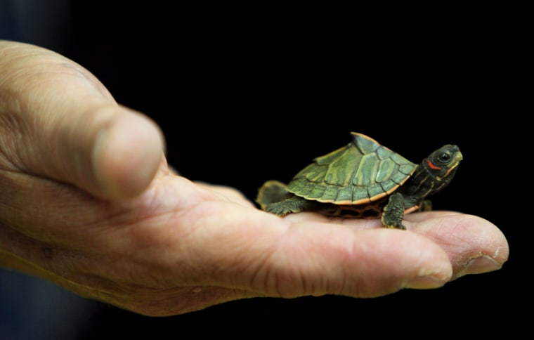 Image: A Thai Customs official holds a confiscated Indian Roofed Turtle