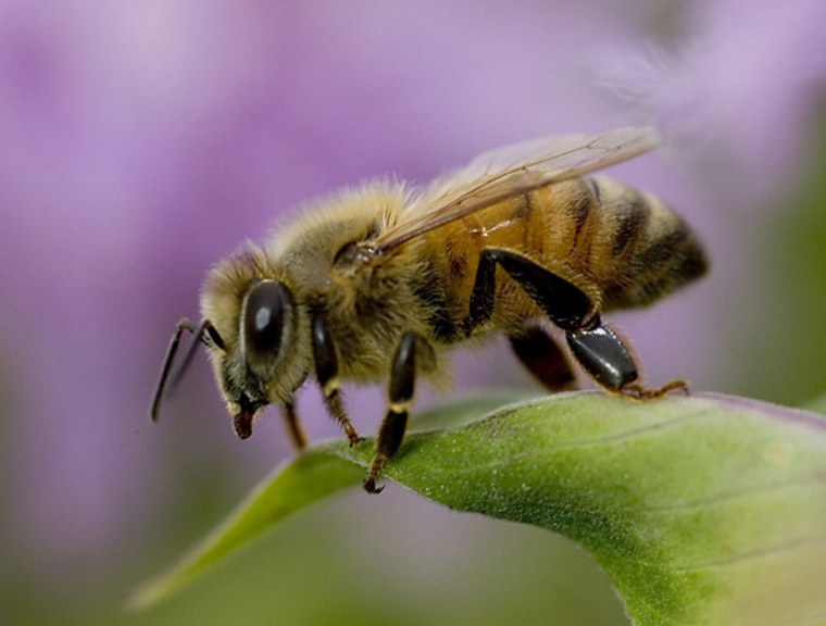 One beekeeping activist saysunhealthy breeding practices, weakened immune system strength in bees, mites, pollution, pesticides, viruses and more have created a perfect storm of combined impacts that are taking their toll on honeybees.
