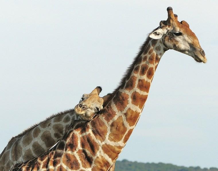 Image: Two giraffes