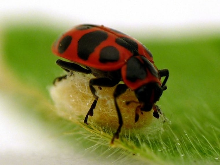 Image: A ladybug with a wasp cocoon.