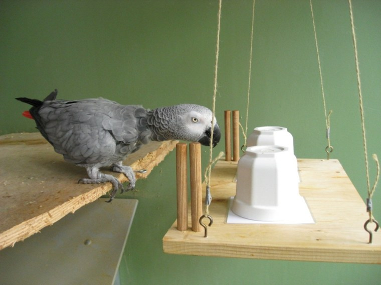 Image: Gray parrot