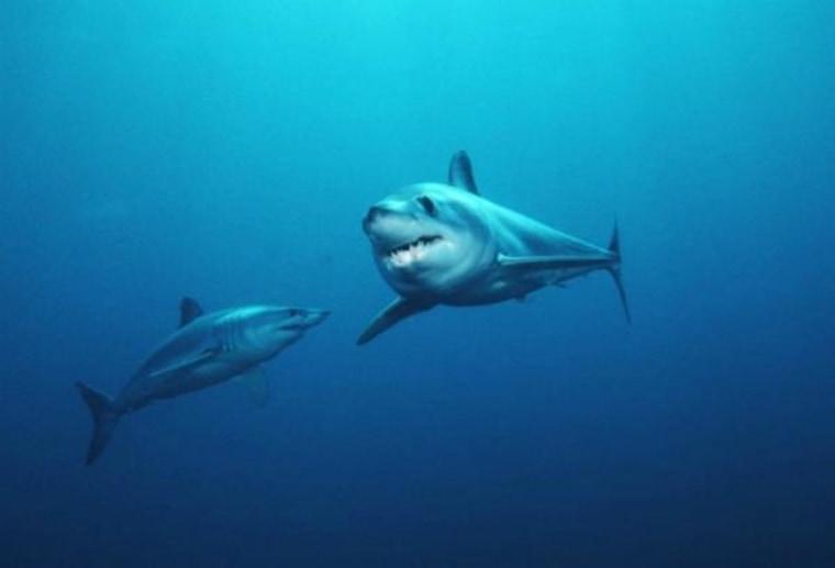 Shortfin mako sharks, tagged off the coast of Southern California.