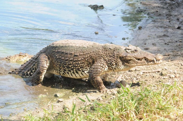 Among crocodilians, Crocodylus rhombifer(shown here) is one of the world's most endangered species with the smallest natural distribution. In Cuba, the species coexists with the American crocodile (Crocodylus acutus).