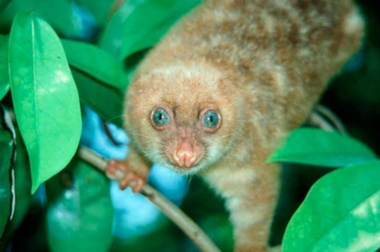 Thisblue-eyed spotted cuscus, discovered in 2004 in New Guinea.