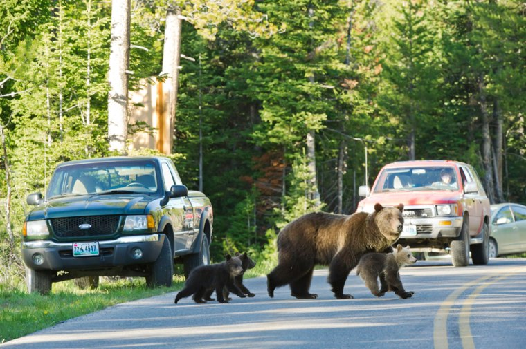 Image: Grizzly bear No. 399 crossing a road in Grand Teton National Park