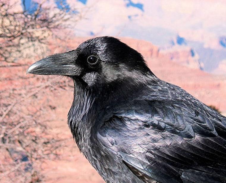 Image: American crow