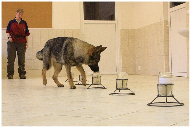 A dog sniffing the scent sample in a line-up could tell identical twins apart every time.