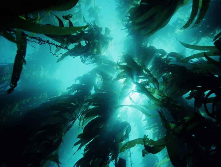 Giant kelp growing in the ocean. Scientists are devising ways to use the plentiful resource as fuel.