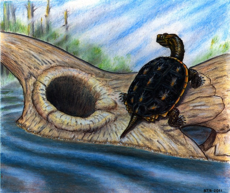 Reconstruction of the baenid turtle Boremys basking on a Triceratops dinosaur skull. Boremys were one of several turtle species that survived the asteroid impact that killed the dinosaurs (other than birds) at the end of the Cretaceous Period.
