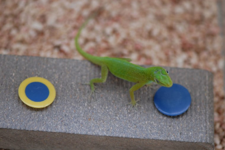 Lizards found ways to get at a hidden insect larva treat, indicating that they, and perhaps reptiles in general, may learn relatively quickly.