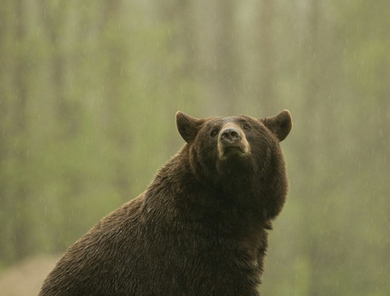 A black bear in a Minnesota rain shower. New research shows how top predators help preserve the ecosystems they live in.